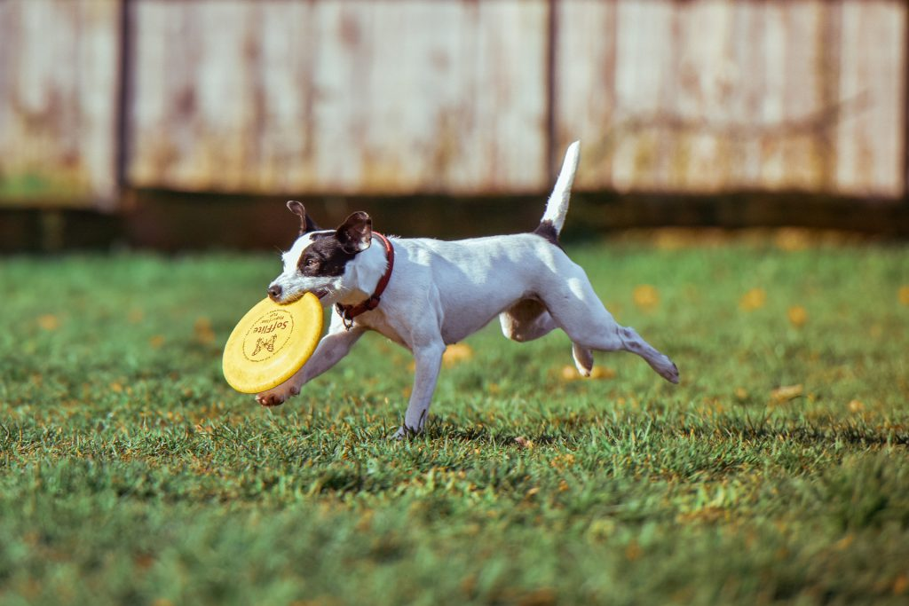 dog with frisbee, fence, grass